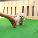 Mini Teacup Poodle Puppies For Sale - Tiffany - a Poodle puppy