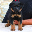 TOP OF THE LINE AKC GERMAN ROTTWEILER PUPPIES - a Rottweiler puppy