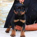 TOP EUROPEAN AKC ROTTWEILER PUPPIES - a Rottweiler puppy