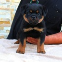 TOP CLASS AKC GERMAN ROTTWEILER PUPPIES - a Rottweiler puppy