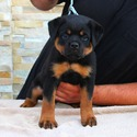 SUPERIOR QUALITY AKC GERMAN ROTTWEILER PUPPIES - a Rottweiler puppy