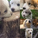 Cypress - a Great Pyrenees puppy