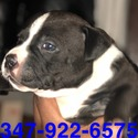 Kanin - a American Pit Bull Terrier puppy
