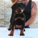 THE BEST LOOKING AKC GERMAN ROTTWEILER PUPPY - a Rottweiler puppy