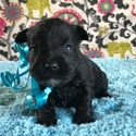 Kindreds Classic Mini Schnauzers owned by Kindreds Classic Mini Schnauzers