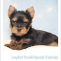 Ron - a Yorkshire Terrier puppy