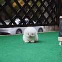Mini Teacup Pomeranian Puppies For Sale [Merry] - a Pomeranian puppy