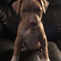 Maxximus! - a American Pit Bull Terrier puppy