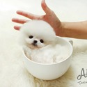 Sweet doll face Pomeranian Puppies For Sale [Buzz] - a Pomeranian puppy