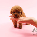 Micro Red Female Poodle Puppies For Sale  [Chloe] - a Poodle puppy