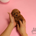 Teddy bear Mini Poodle Puppies For Sale [Macaron] - a Poodle puppy