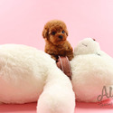 Teddy bear Teacup Poodle Puppies For Sale  [Chloe] - a Poodle puppy