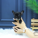 Mini French Bulldog Puppies For Sale [Baxter] - a French Bulldog puppy