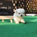 Mini Teacup Maltese Puppies For Sale [Melon] - a Maltese puppy