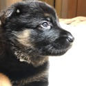 Boo - a German Shepherd Dog puppy