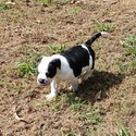 Puppy A - a Bulldog puppy