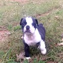 Puppy B - a Bulldog puppy