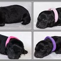Pink - a Labrador Retriever puppy