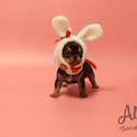 Micro Teacup Chihuahua Puppies For Sale [Pie] - a Chihuahua puppy