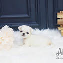 Micro Teacup Pug Puppies For Sale - Annabel - a Pug puppy