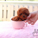 Teacup Mini Poodle Puppies For Sale - Kitty - a Poodle puppy