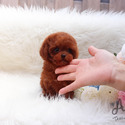 Mini Teacup Poodle Puppies For Sale - Kitty - a Poodle puppy