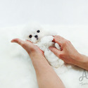 Mini Teacup Maltese Puppies For Sale [Minnie] - a Maltese puppy