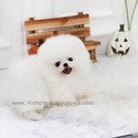 Mini Teacup Pomeranian Puppies For Sale [Angel] - a Pomeranian puppy