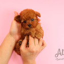 Teacup Toy Poodle Puppies For Sale - Ruby - a Poodle puppy
