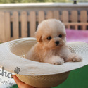 Teacup Toy  Maltipoo Puppies For Sale - Hazelnut - a Maltipoo puppy