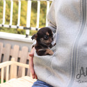 Teacup Toy Chihuahua Puppies For Sale [Pie] - a Chihuahua puppy