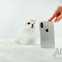 Teacup Toy Maltese Puppies For Sale [Minnie] - a Maltese puppy