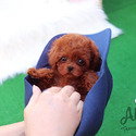 Teacup Teddy Bear Puppies For Sale - Kitty - a Poodle puppy