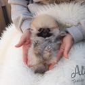 Teacup Teddy Bear Pomeranian Puppies For Sale [Brownie] - a Pomeranian puppy