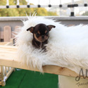 Toy Mini Chihuahua Puppies For Sale [Pie] - a Chihuahua puppy