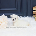Mini Pug Puppies For Sale - Annabel - a Pug puppy