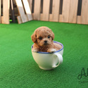 Teacup Toy Maltipoo Puppies For Sale- Mocha - a Maltipoo puppy