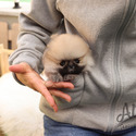 Teacup Toy Pomeranian Puppies For Sale [Brownie] - a Pomeranian puppy