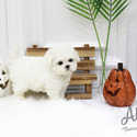 Teacup Toy Bichon Frise Puppies For Sale - Cocoa - a Bichon Frise puppy
