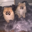 Teacup Toy Pomeranian Puppies For Sale owned by Teacup Toy Pomeranian Puppies For Sale