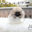 Mini Teacup Pomeranian Puppies For Sale [Brownie] - a Pomeranian puppy