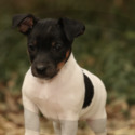 Rocco - a Jack Russell Terrier puppy