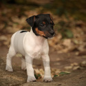 ***Sold*** Cody - a Jack Russell Terrier puppy