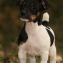 ***SOLD*** Shasta - a Jack Russell Terrier puppy