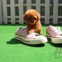 Teacup Teddy Bear Poodle Puppies For Sale [Ruby] - a Poodle puppy