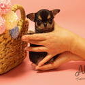 Teacup Micro Chihuahua Puppies For Sale [Pie] - a Chihuahua puppy