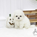 Teacup Teddy Bear Bichon Frise Puppies For Sale - Cocoa - a Bichon Frise puppy