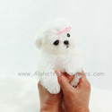 Teacup Micro Maltese Puppies For Sale [Minnie] - a Maltese puppy