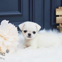 Teacup Micro Pug Puppies For Sale - Annabel - a Pug puppy