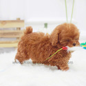 Teacup Micro Poodle Puppies For Sale - Toby - a Poodle puppy